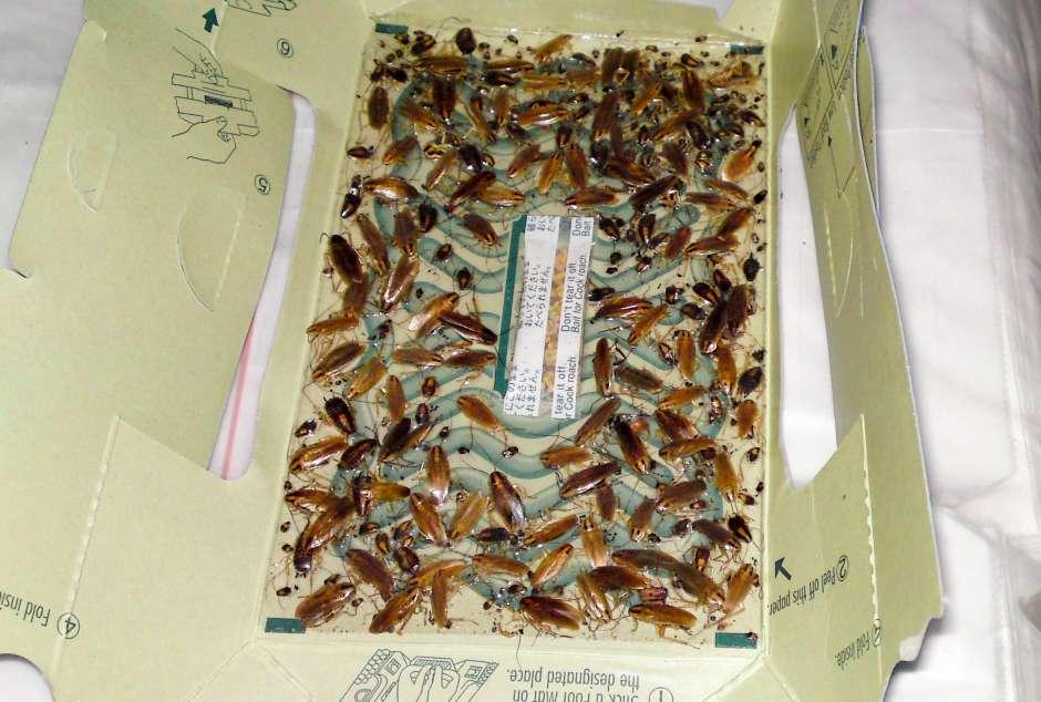 Mange bagerier, restauranter og fødevarevirksomheder har problemer med effektivt at bekæmpe kakerlakker.