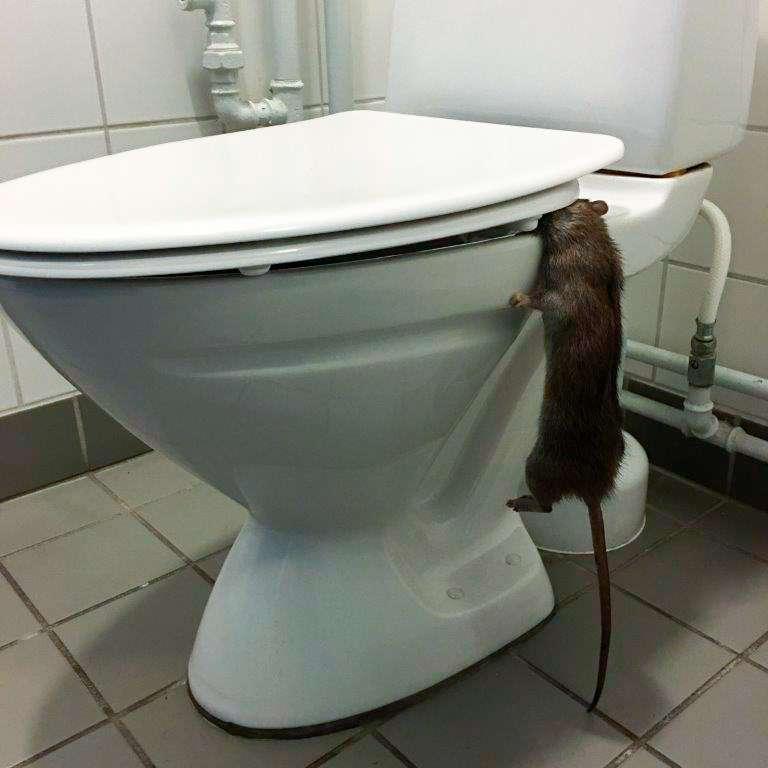 Rotte fanget på vej tilbage i kloakken. Bekæmpelse af rotter skal og må kun udføres af professionelle. Bekæmpelsesmidler må kun erhverves og udlægges af personer med autorisation.